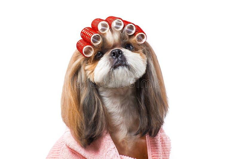 Perro hermoso del shih-tzu en las manos del ` s del groomer con el peine fotografía de archivo