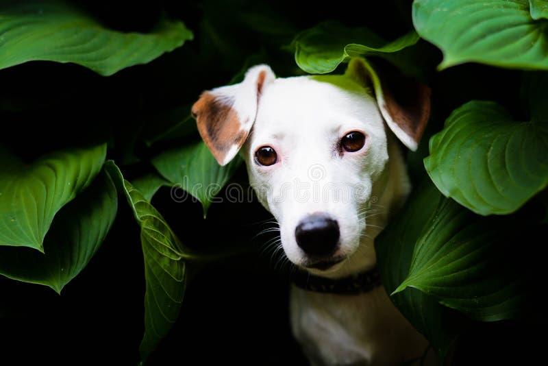 Perro hermoso del terrier de Russel del enchufe que se sienta entre las hojas imagen de archivo