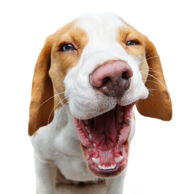 Perro hermoso divertido del beagle imágenes de archivo libres de regalías