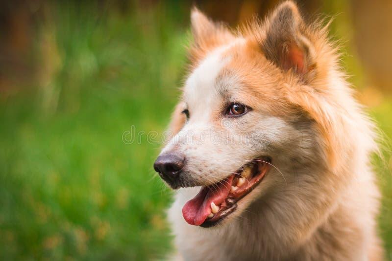 Perro hermoso en fondo de la naturaleza Retrato del perro esquimal siberiano fotografía de archivo libre de regalías