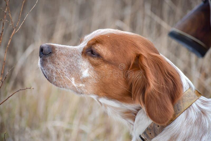 Perro hermoso Retrato del bretón de Epagneul del perro de caza Brittany Spaniel imagenes de archivo