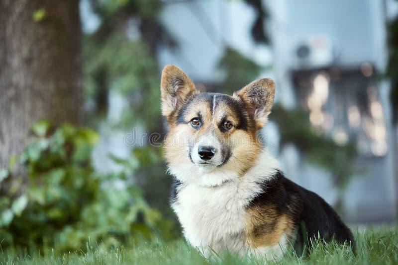 Perro hermoso y adorable del Corgi Galés en la hierba en el parque fotos de archivo libres de regalías