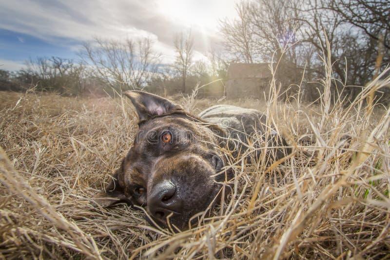 Perro Hobbs del rescate en un rancho de Tejas fotografía de archivo libre de regalías
