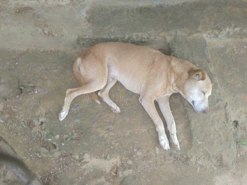 Perro indio para el pueblo en las mejores buenas noches foto de archivo libre de regalías