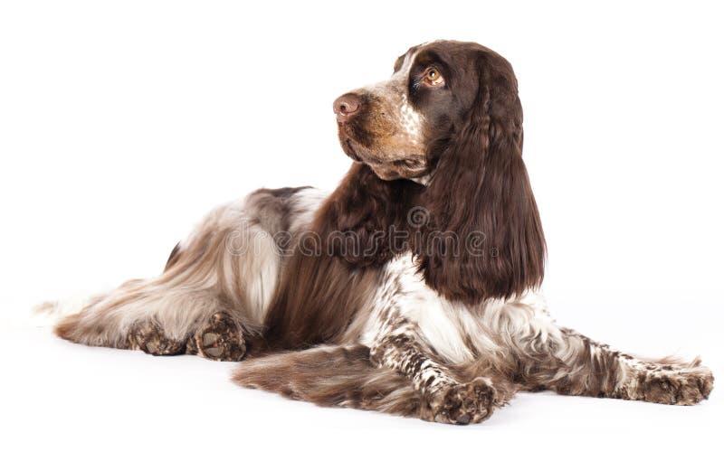 Perro inglés del perro de aguas de cocker fotografía de archivo libre de regalías
