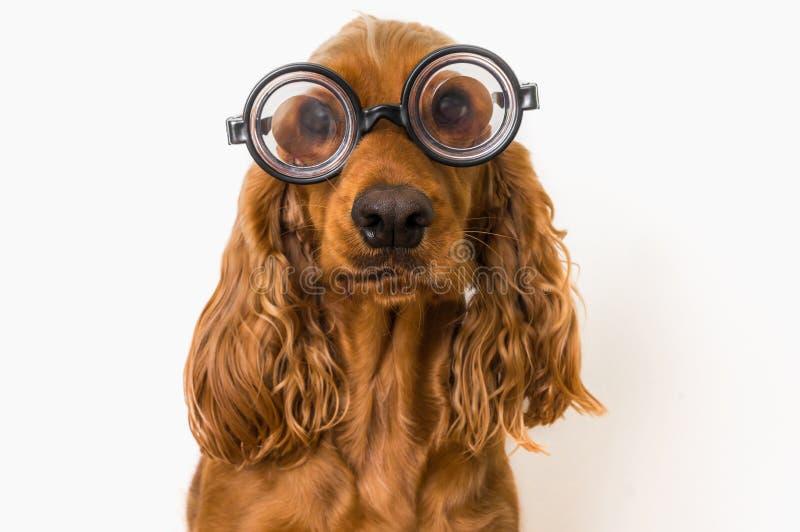 Perro inteligente de cocker spaniel con las lentes aisladas en blanco fotografía de archivo libre de regalías