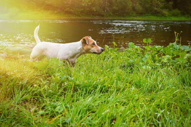 Perro Jack Russell Terrier en la orilla del río El perro de caza detectó la presa imágenes de archivo libres de regalías