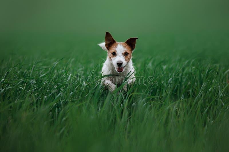 Perro Jack Russell Terrier que corre en la hierba fotos de archivo libres de regalías
