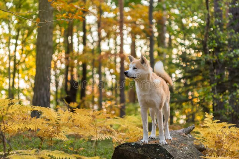 Perro japonés Akita Inu en Autumn Forest imagen de archivo