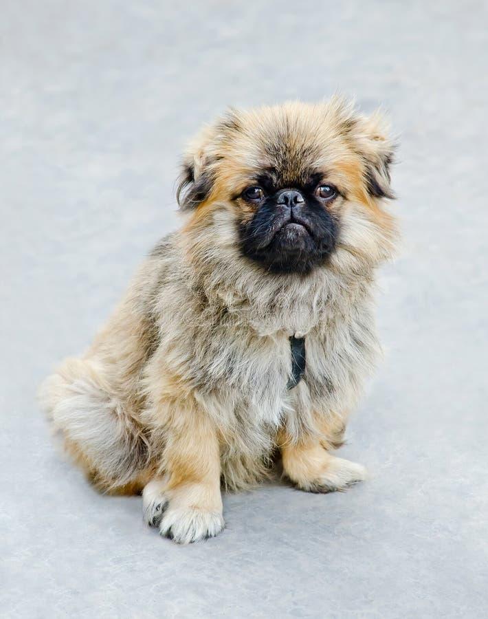 Perro - japonés Chin foto de archivo libre de regalías