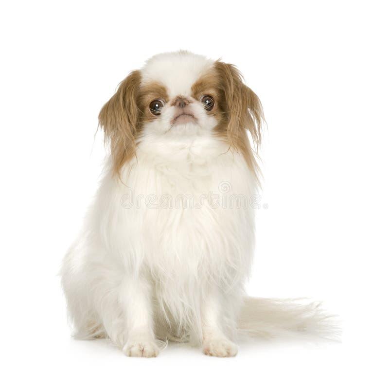 Perro japonés de la barbilla imagen de archivo