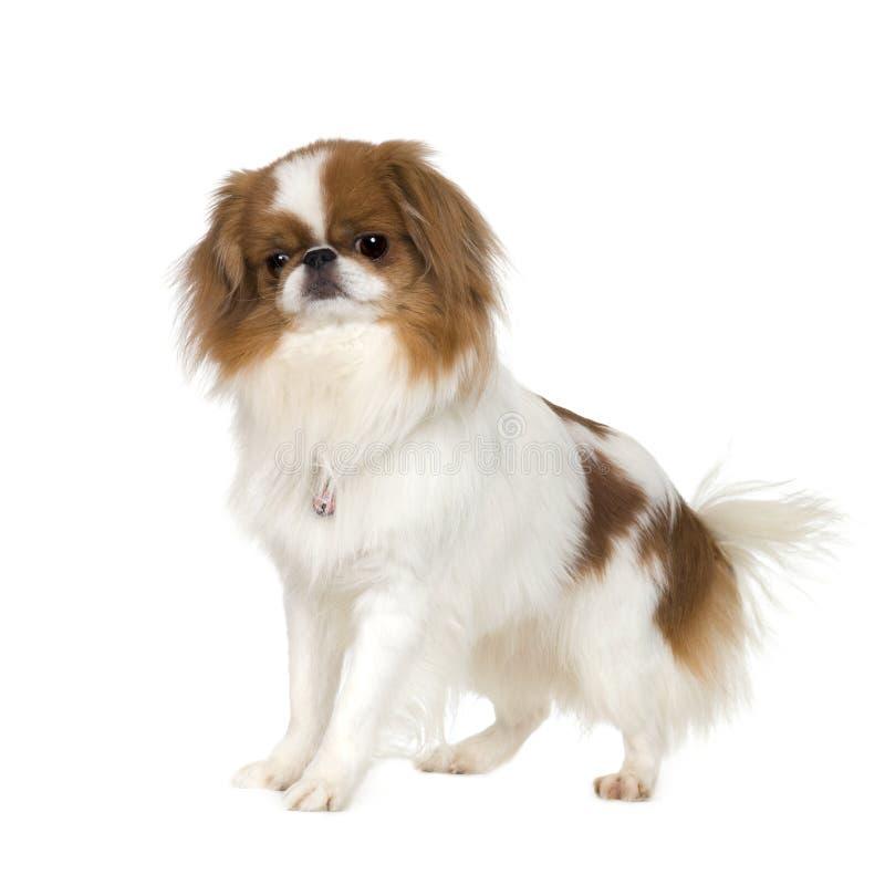 Perro japonés de la barbilla imagen de archivo libre de regalías