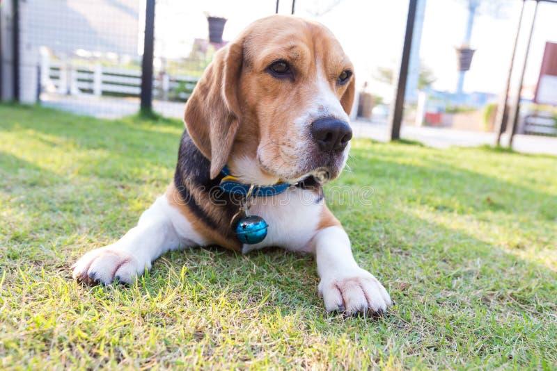 Perro joven del beagle puesto en el jardín imagenes de archivo