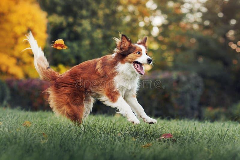 Perro joven del border collie que juega con las hojas en otoño fotos de archivo