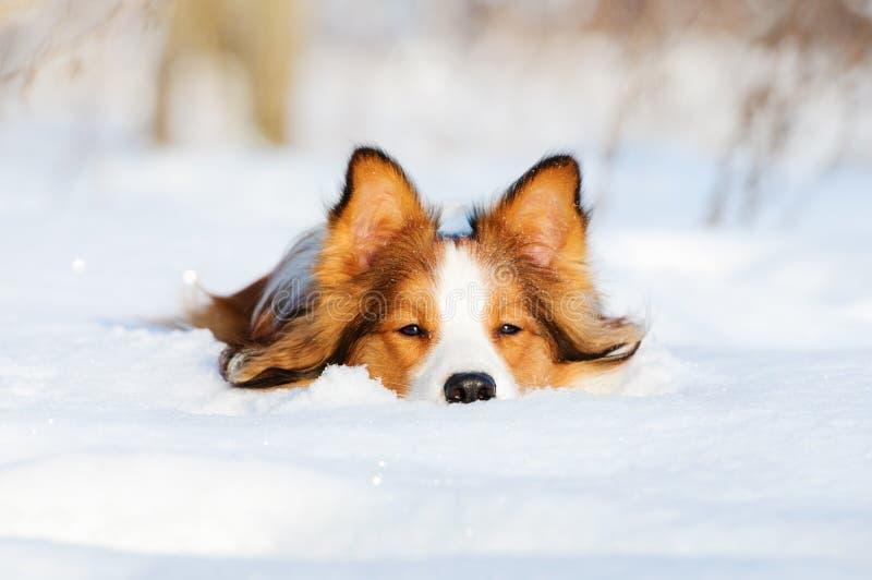 Perro joven del collie de frontera en la nieve imágenes de archivo libres de regalías