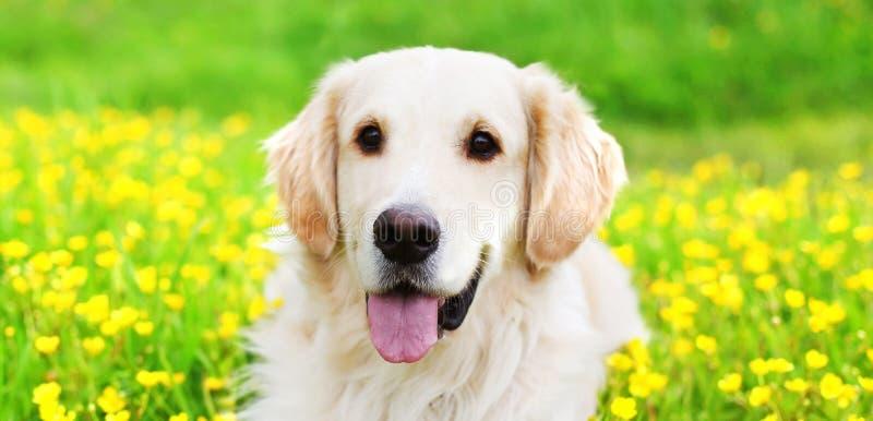 Perro joven del golden retriever del retrato que miente en hierba verde sobre las flores amarillas en verano soleado fotografía de archivo