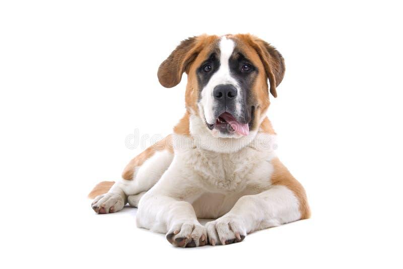 Perro joven del St. Bernard imagen de archivo