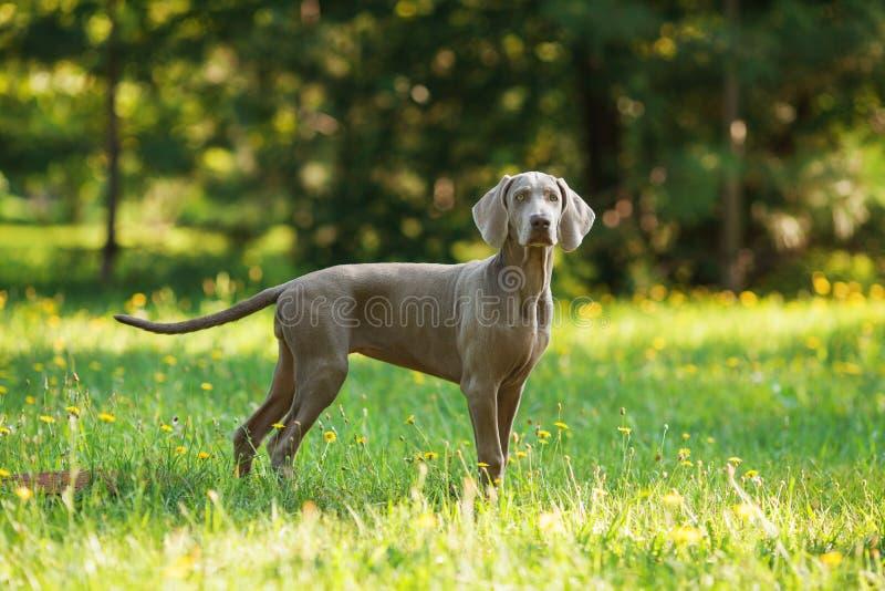 Perro joven del weimaraner al aire libre en hierba verde foto de archivo
