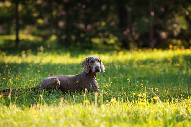 Perro joven del weimaraner al aire libre en hierba verde fotografía de archivo