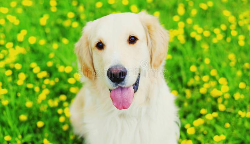 Perro joven feliz del golden retriever del retrato en hierba verde sobre las flores amarillas en verano fotografía de archivo