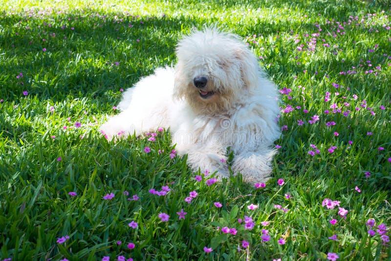 Perro joven lindo Komondor imagenes de archivo