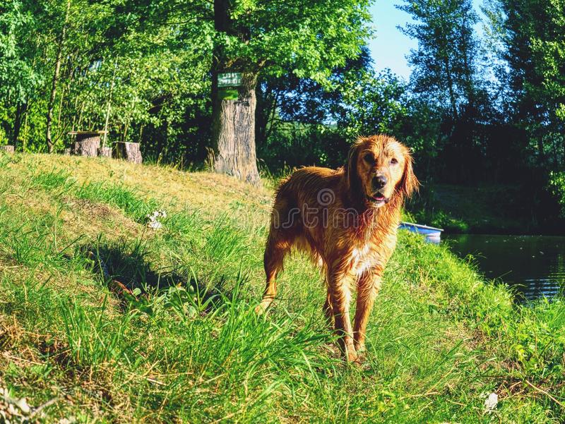 Perro joven que se refresca apagado en agua del lago Perrito melenudo de oro imagen de archivo libre de regalías