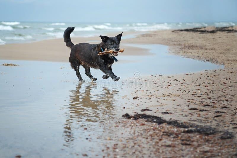 Perro jugando con un palo foto de archivo