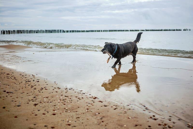 Perro jugando con un palo imagen de archivo libre de regalías
