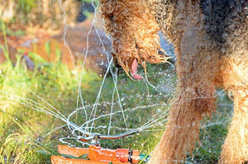 Perro juguetón rizado mullido grande divertido en agua fotos de archivo libres de regalías