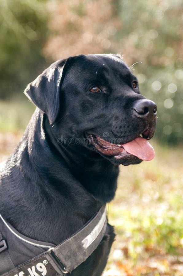 Perro Labrador que se sienta en los backlits de maderas imagenes de archivo