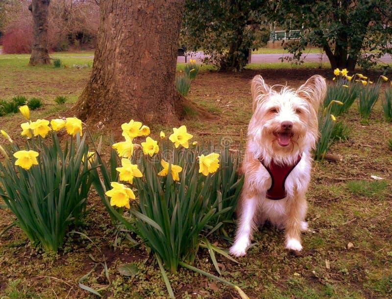 Perro lanudo que sonríe con los narcisos en parque fotografía de archivo libre de regalías