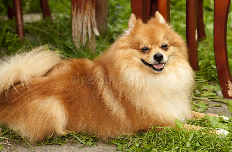 Perro lanudo rojo que miente en el fa del perro de Pomerania criado en línea pura hermoso de la hierba verde foto de archivo