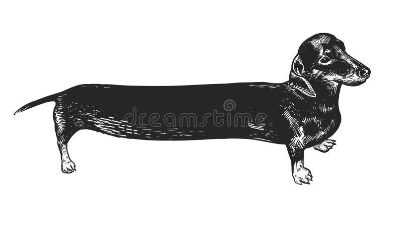 Perro largo del perro basset Dibujo blanco y negro de la mano stock de ilustración