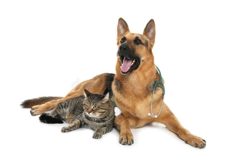 Perro lindo con el estetoscopio como veterinario y gato en blanco imagenes de archivo