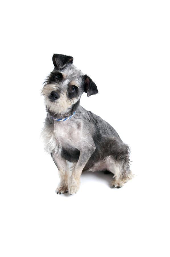 Perro lindo con la cabeza inclinada mirando la cámara fotografía de archivo