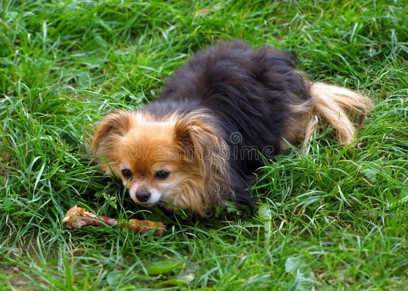 Perro lindo con un hueso que se sienta en hierba verde en un prado L divertido fotos de archivo libres de regalías