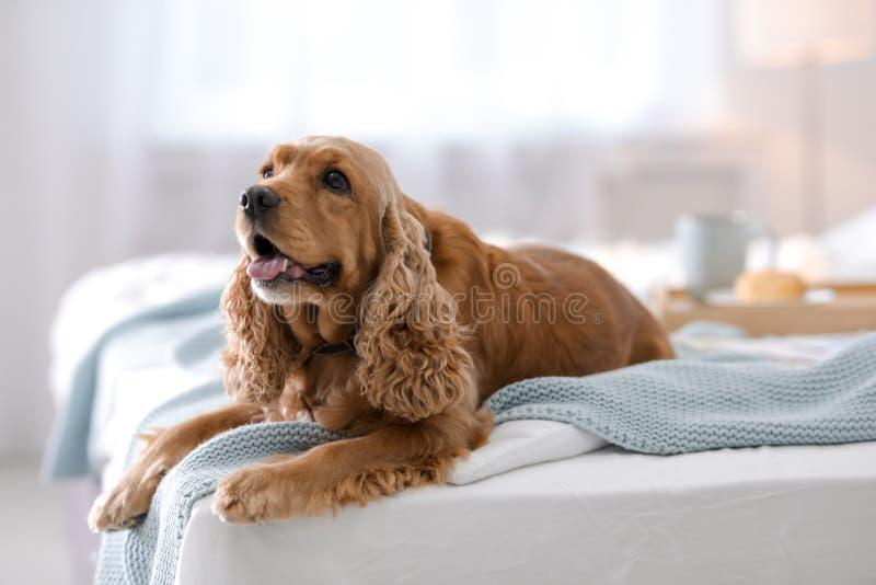 Perro lindo de Cocker Spaniel con la manta caliente imagen de archivo