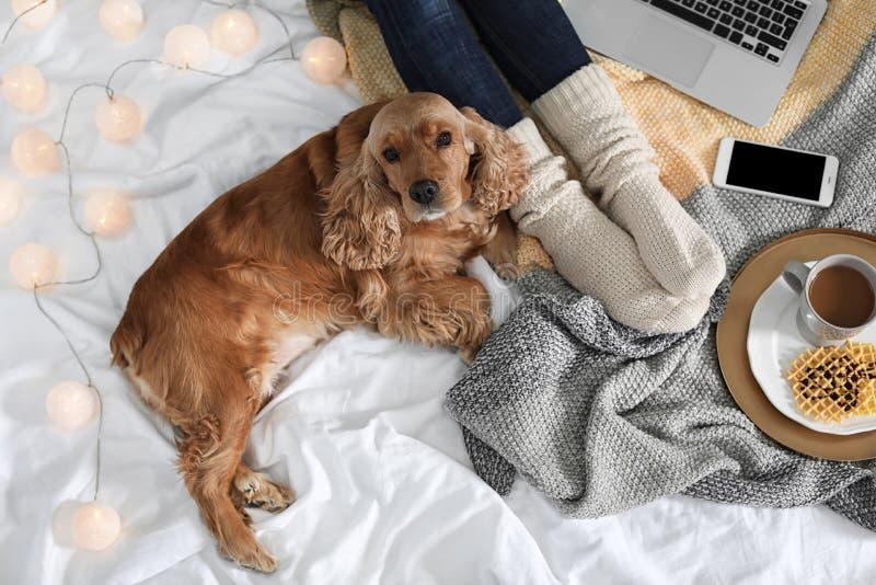 Perro lindo de Cocker Spaniel con la manta caliente que miente cerca de dueño en la cama, visión superior fotografía de archivo