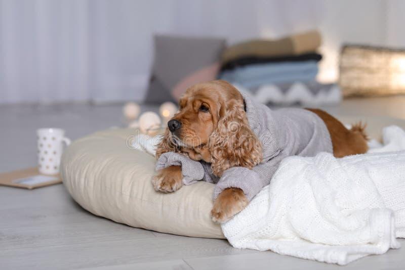 Perro lindo de Cocker Spaniel en el suéter hecho punto que miente en la almohada en casa fotografía de archivo