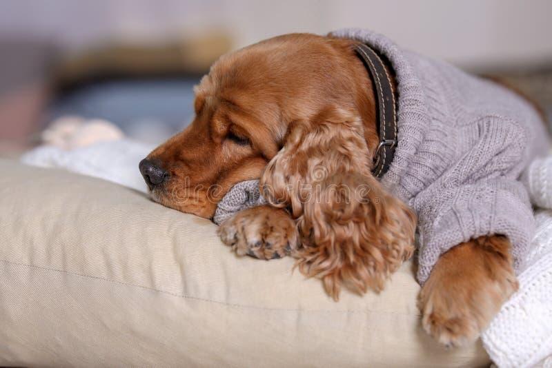 Perro lindo de Cocker Spaniel en el suéter hecho punto que miente en la almohada en casa imágenes de archivo libres de regalías