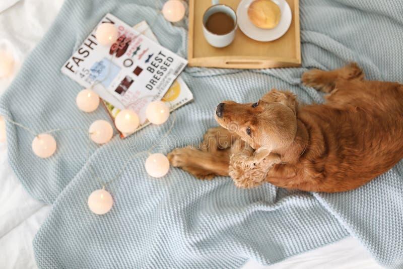Perro lindo de Cocker Spaniel en la manta hecha punto en casa, visión superior fotos de archivo libres de regalías