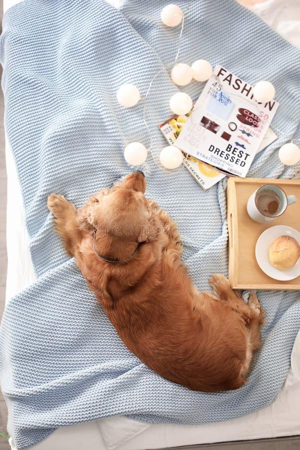 Perro lindo de Cocker Spaniel en la manta hecha punto en casa, visión superior fotografía de archivo libre de regalías