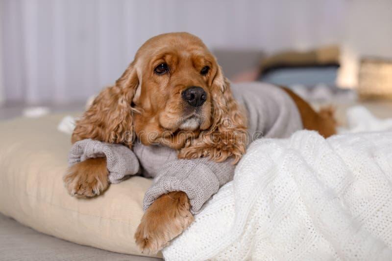 Perro lindo de Cocker Spaniel en la mentira hecha punto del suéter imagenes de archivo
