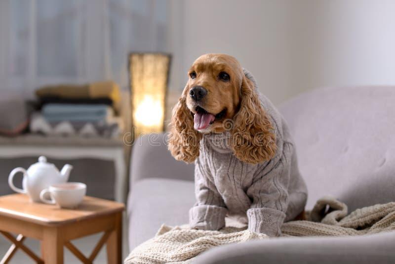 Perro lindo de Cocker Spaniel en suéter hecho punto en el sofá en casa foto de archivo