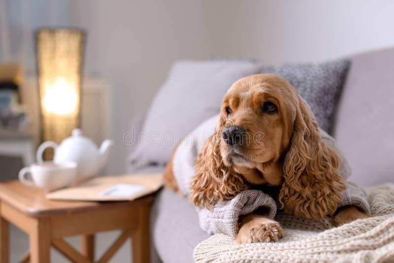 Perro lindo de Cocker Spaniel en suéter hecho punto en el sofá en casa fotografía de archivo