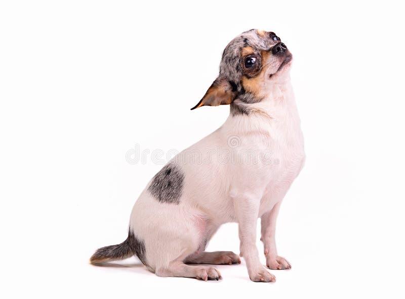 Perro Lindo De La Chihuahua Fotografía de archivo libre de regalías