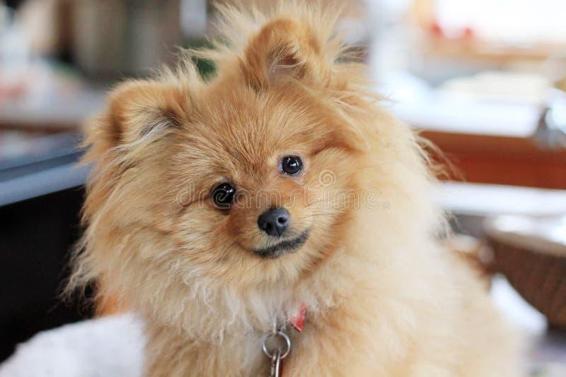 Perro lindo de Pomeranian imágenes de archivo libres de regalías