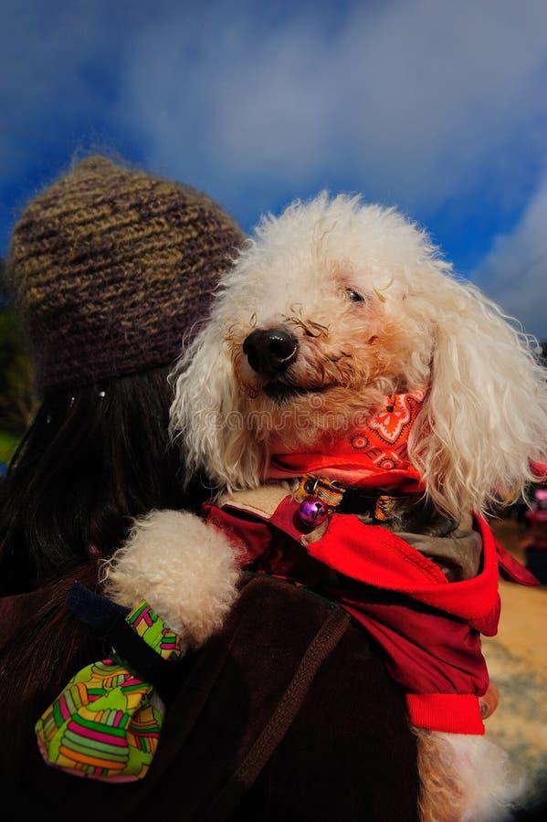 Perro lindo de Poodel fotografía de archivo libre de regalías