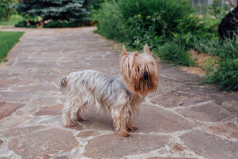 Perro lindo de Yorkshire Terrier en la yarda imagen de archivo libre de regalías