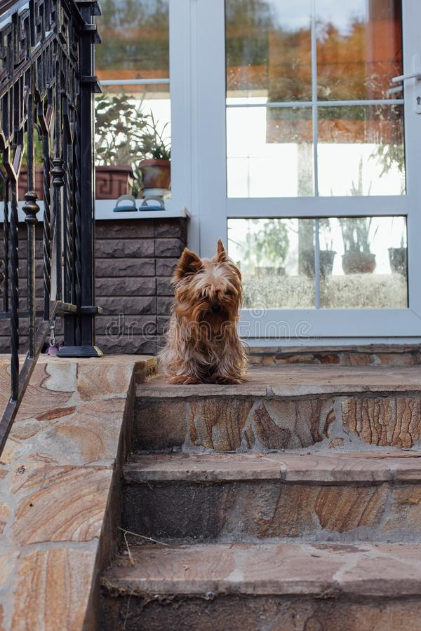 Perro lindo de Yorkshire Terrier en la yarda imagen de archivo
